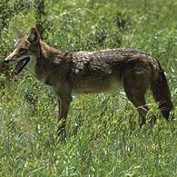 Bip bip, voilà les coyotes
