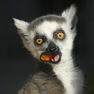 Un bébé lémurien au zoo du Bronx
