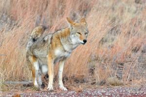 Un coyote capturé dans les rues de New York