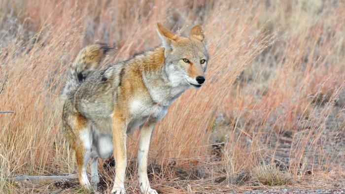 Un coyote dans la nature, loin des tours new-yorkaises. (Photo Larry Lamsa)