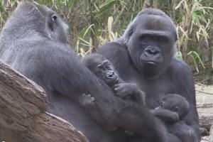 Deux bébés gorilles au zoo du Bronx