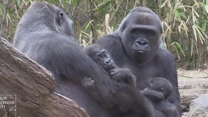 Capture d'écran de la vidéo du zoo du Bronx.