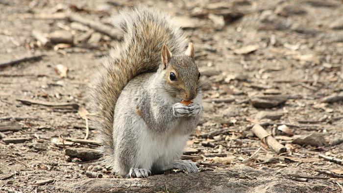 Un écureuil dans Central Park. (Photo Kowarski)