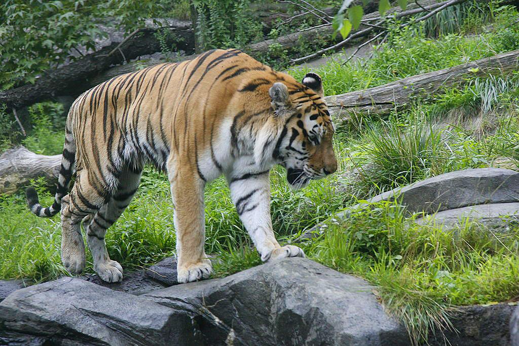 tigre zoo bronx