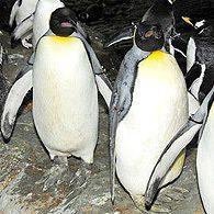 Quatre pingouins dans le vent