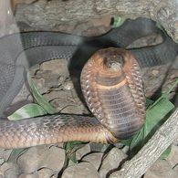 Un cobra s'échappe du zoo du Bronx… et fuit sur Twitter