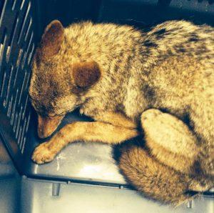 Photo du coyote endormi, publiée par le NYPD.