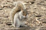 10 choses à savoir sur les écureuils de New York