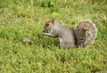 ecureuil central park